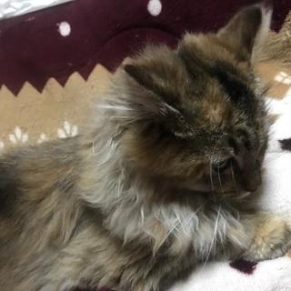 急募!野良猫の仔猫【こげ茶色】約4ヶ月