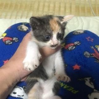 急募!野良猫の仔猫【ミケ色】約4ヶ月