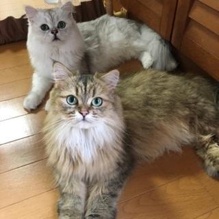 【福井】チンチラ♂♀2匹