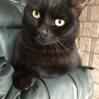 保護猫里親募集。人懐っこい黒猫です。