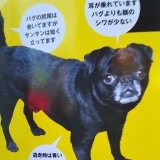 SOS  黒い犬行方不明 謝礼金50万円致します。小さな命 助けて...