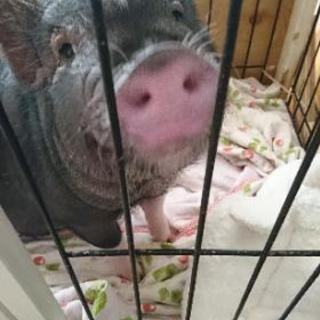 豚ちゃんに不要なシーツ