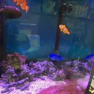 海水魚 カクレクマノミ 水槽セット一式