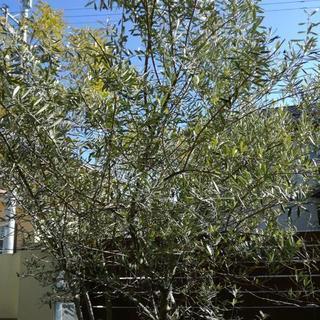外構 庭木 オリーブの木 2.5m
