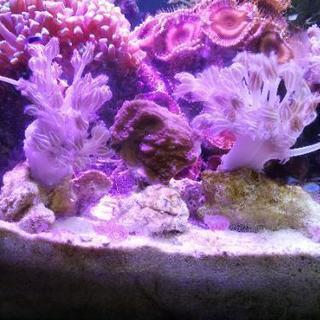 【サンゴ】シロスジウミアザミ(パクパク)&ウスコモンサンゴ