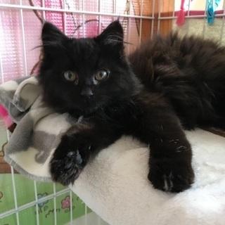黒長毛の美猫の子猫ちゃん