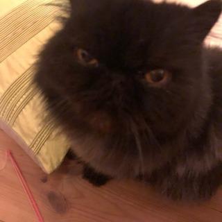 急募!!ペルシャの黒猫の里親募集