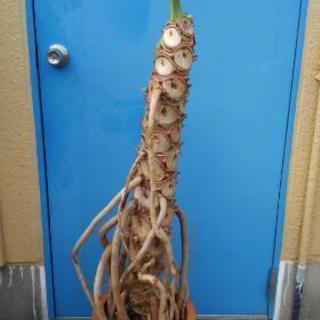 0円 観葉植物 セローム