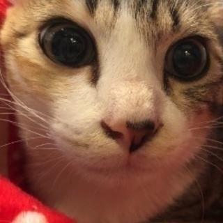 ミケ猫ちゃん4ヶ月兄妹