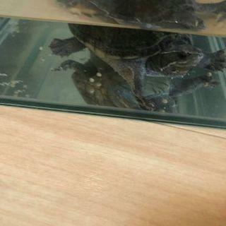 ミシシッピニオイガメの里親募集