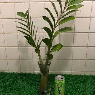 観葉植物 「お金の成る木」