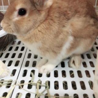 ミニウサギ ♂ 11ヶ月