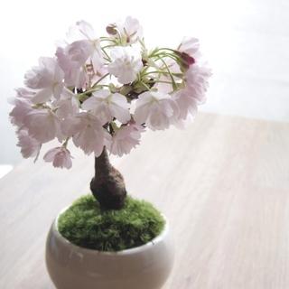 現代インテリアにあうモダン盆栽教室 〜桜または木瓜〜