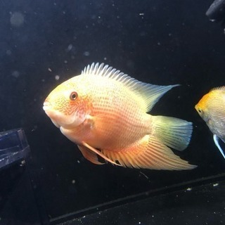 レッドスポット・ゴールデンセベラム  熱帯魚 アクアリウム
