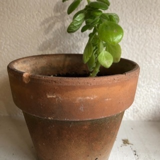 * アロマティカス * ハーブ 苗木 鉢植え 良い香り ディスプレイ