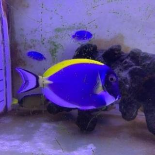 海水魚 パウダーブルータン