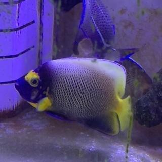 海水魚 アデヤッコ