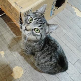 里親さま決定! キジトラ界の美猫NO.1★ぶんぶん  生後4~5ヶ月