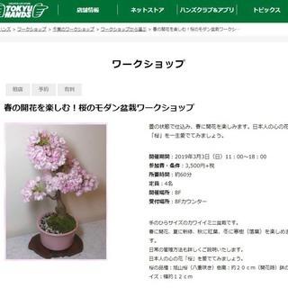 東急ハンズ柏店で桜の盆栽ワークショップ。