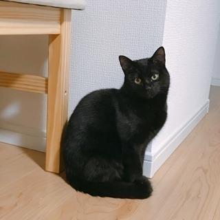 【募集一旦停止中】 甘えん坊 黒猫キーくん 5ヶ月 人馴れニャン子