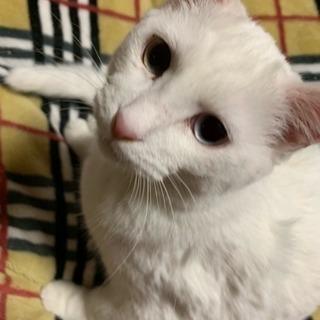 真っ白美人猫ちゃん