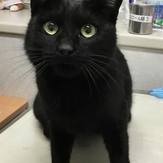 甘えん坊の黒猫パチくん。2歳くらい