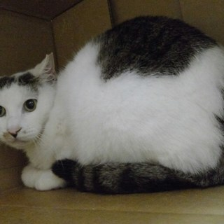 おとなしいきじしろ雌3才 息子猫と - 横浜市