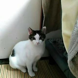 キジ白の子猫(メス)
