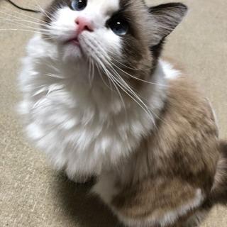 かわいいラグドールの一歳の男の子です。名前はぷーちんです。