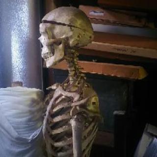 【値下げ❗】骸骨の使い道はないですか?【逸品】整体院で使っていた...