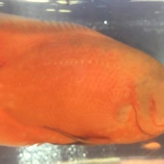 熱帯魚 アルビノオスカー