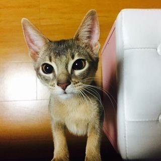 アベシニアン猫