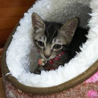 キジトラ オス  6ヶ月 子猫 小さめ