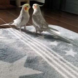 オカメインコ2羽
