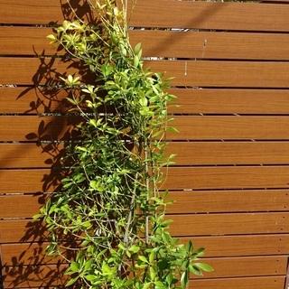 新築 外構 庭木 黄金マサキ 1本 高さ約1.5mになりました