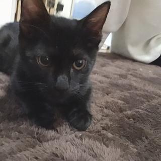 寂しがりの黒猫ちゃん女の子 4ヶ月【応募多数の為一旦募集停止中】