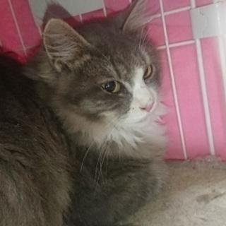 とても美しい毛並みと大きな目の西洋猫!