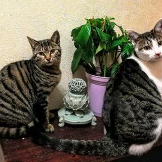 仮里親決定保護猫6ヶ月手術済