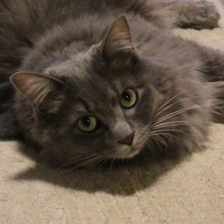 おっとりした美猫。可愛がって下さる方を探しています。