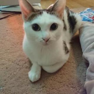 保護猫ちゃん避妊手術済。約一歳
