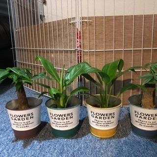 観葉植物(パキラ&スパティフィラム)
