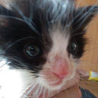 約1ヶ月のハチワレ猫 - 猫