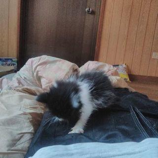 約1ヶ月のハチワレ猫 - 那覇市