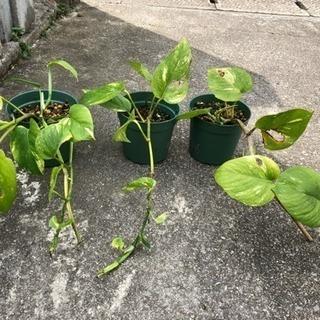鉢植え ポトス