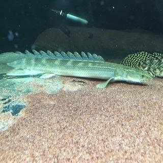 熱帯魚 ポリプテルス ラプラディ約35cm