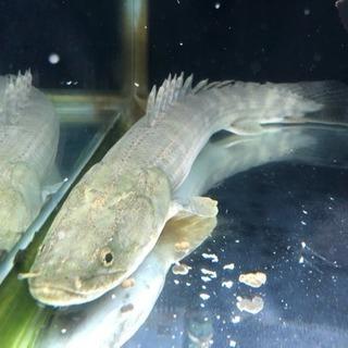 熱帯魚 ポリプテルス ラプラディ約45cm