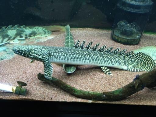 オルナティ ポリプテルス ポリプテルス・オルナティピンニス Polypterus