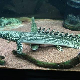 熱帯魚 ポリプテルス オルナティピンニス 約34cm