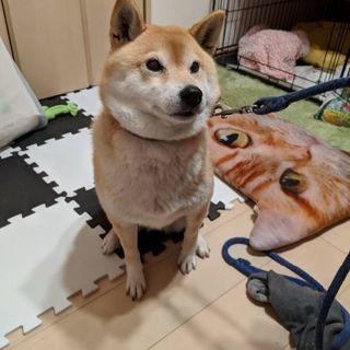 保護犬 柴犬 7歳