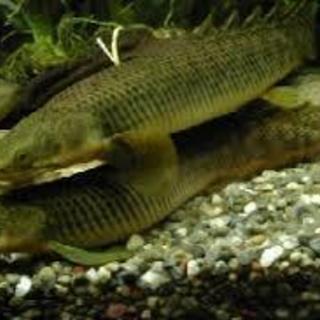 熱帯魚 ポリプテルス・パルマス アミメウナギ 水槽